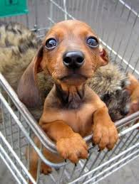 Shopping Cart Puppy