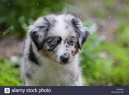 australian shepherd herding australian shepherd puppies are agile energetic and mature into