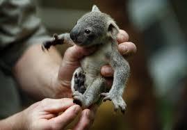 Koala Meme - baby koala