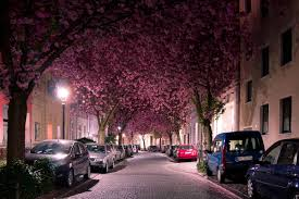 Cherry Blossom Tree Facts by Cherry Blossom Tunnel Germany Feel The Planet