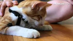 how to teach a cat to walk on a leash youtube