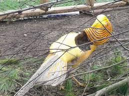 beginners guide for the red golden pheasant pic heavy with
