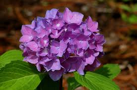 purple hydrangea learn to change the color of your hydrangeas