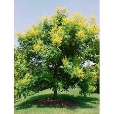 Green Vase Japanese Zelkova Buy Zelkova Green Vase Online Plants