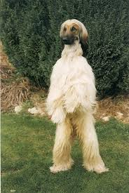 afghan hound breeders europe 87 best sighthounds images on pinterest animals greyhounds and