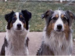 c c australian shepherds louisiana all archive pods u0026 wp posts