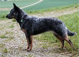 australian shepherd queensland australian cattle dog pictures diet breeding puppies facts