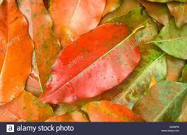leaves of rainbow eucalyptus eucalyptus deglupta arenal costa