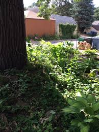old oak tree surrounded by weeds ask an expert