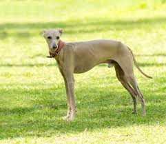 afghan hound vs wolfhound types of hound dogs