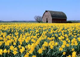 daffodils are national garden bureau u0027s bulb crop of the year