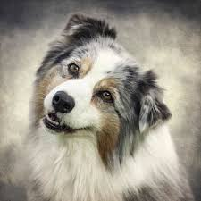 commercials with australian shepherds australian shepherd art fine art america