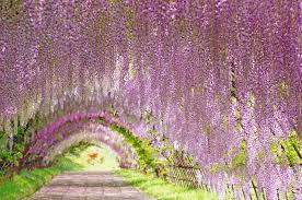 wisteria tunnel dreams and wonders the most beautiful places