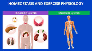 Anatomy And Physiology Exercise 10 Homeostasis And Exercise Physiology Youtube