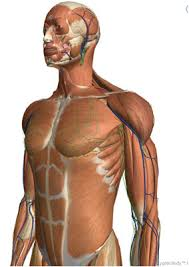 Interactive 3d Anatomy Free Interactive D Human Stream 3d Anatomy Free Online At Best