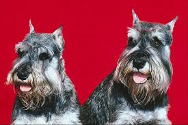 schnauzer hair cut step by step standard schnauzer puppy grooming pets
