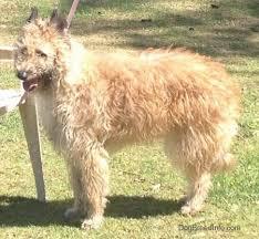 belgian shepherd dog club of canada belgian laekenois dog breed information and pictures