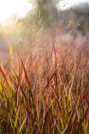 84 best ornamental grasses images on ornamental