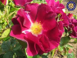 owl bush style roses
