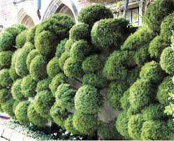 Topiary Cloud Trees - cloud pruned conifers gardens pinterest topiary gardens and