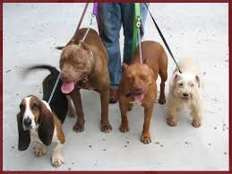 american pitbull terrier puppies louisiana aj u0027s reds breeding red nose american pit bull terriers