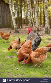 chickens flock in yard rhode island red hens and plymouth rock
