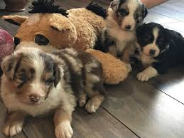 australian shepherd 500 view ad miniature australian shepherd puppy for sale new york
