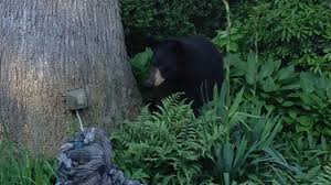 bear tranquilized under new jersey deck not far from