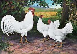 chicken breeds california white with 4 benefits of a mixed flock