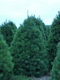 white pine trees wholesale white pine trees