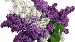 lilac flowers lilac white background images all white background