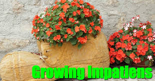 impatiens flowers growing impatiens plants vibrant colors for shade pots and borders