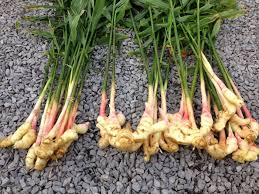 Is Ginger Root A Vegetable - health benefits of ginger plant sonth