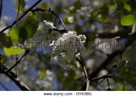 ornamental pear tree stock photos ornamental pear tree stock