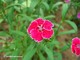 sweet william flowers sweet william flower picture