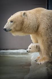 Columbus Zoo Lights Hours by The Columbus Zoo And Aquarium Is Home To Three New Polar Bear Cubs