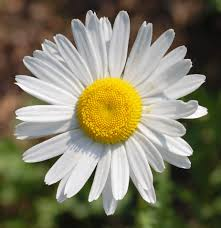 most popular flowers daisies are one of the worlds most popular flowers and is second