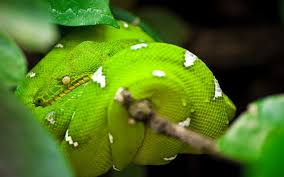 a green snake wallpapers green tree python snake wallpaper animals wallpaper better