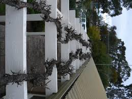 living shade time to prune the ornamental grapes roy