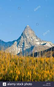 autumn larch trees frame mount st nicholas in glacier national