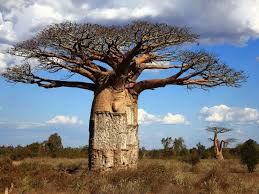 the baobab tree adansonia tree pandavita