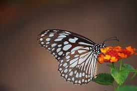file blue tiger butterfly jpg wikimedia commons