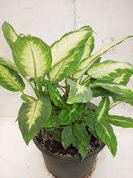 indoor plants india sanjay nursery plant nursery in pune mumbai india indoor plants