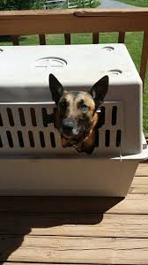 owning a belgian sheepdog weighing in on the malinois or u201cmax u201d controversy