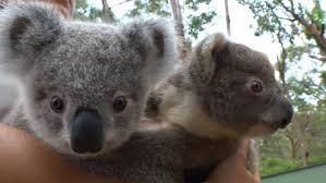 double trouble koala mum takes twins photos video