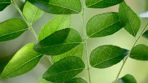 Curry Leaf Plant Diseases - curry leaves benefits the spicy route to good health ndtv food
