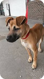 belgian malinois markings mesa az belgian malinois labrador retriever mix meet gunner a
