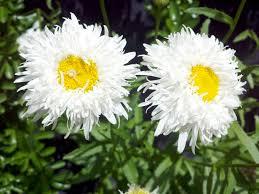daisy like flower veroniqque