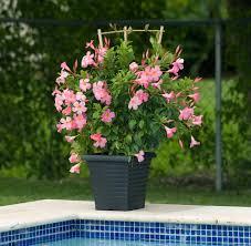 Mandevilla Plant Diseases - sun parasol pretty pink mandevilla wisconsin gardening enewsletter