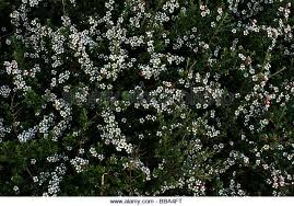 Tree With Little White Flowers - bush small white flowers on stock photos u0026 bush small white